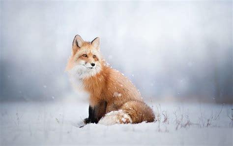 renard neige fond decran renard animaux beaux  renard