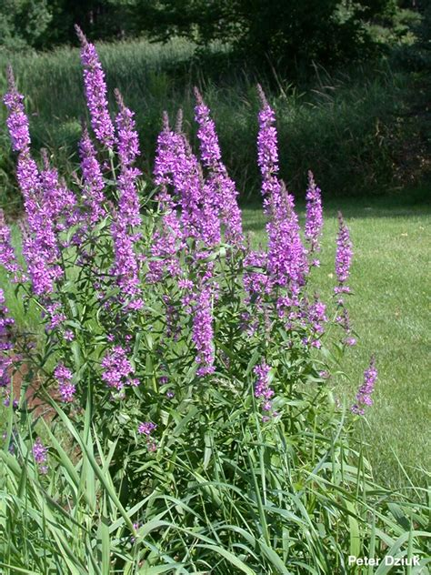 weeds with purple flowers battle of wills with a non native plant turtles crossing