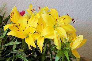 Fleur De Lys Plante : images gratuites la nature fleur p tale floraison ~ Melissatoandfro.com Idées de Décoration