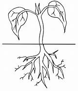 Coloring Clipart Plant Cycle Planting Roots Worksheet Plants Clip Seed Sketch Science Worksheets Template Preschool Activities sketch template