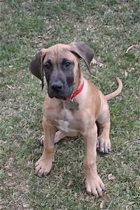 Fawn great Dane puppy! | Dream Pups | Pinterest | Great ...