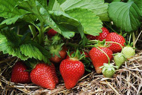 strawberry plants keep strawberries productive by renovating strawberry beds