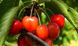 Planter Un Cerisier : r ussir ses plantations son potager et ses fleurs ~ Melissatoandfro.com Idées de Décoration