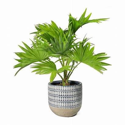 Palm Livistona Rotundifolia Footstool Plant Palms Indoor