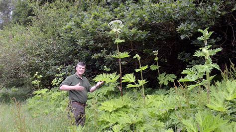 How To Identify Giant Hogweed, Heracleum Mantegazzianum
