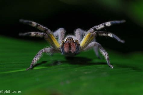 gmo spider venom may be the next viagra wired