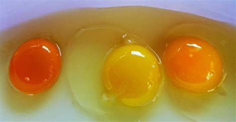 Yolk Egg egg yolk color tells you a lot about the chicken that laid