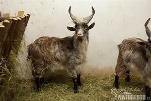 Capra aegagrus hircus Pictures, Girgentana Goat Images ...