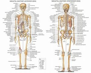 Skeletal Anatomy Front And Back