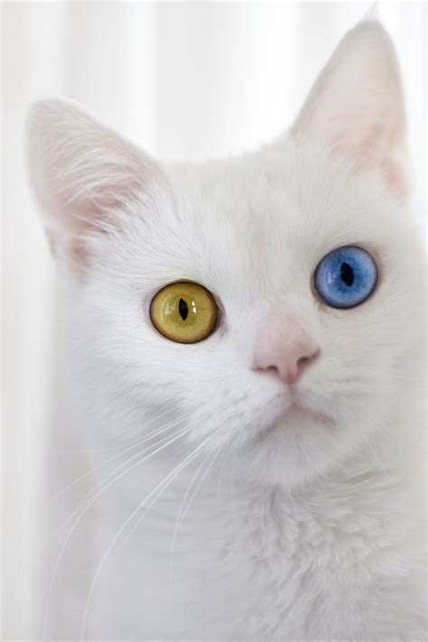 eyes different cats cat colored colors health heterochromia animals ever eye pretty pet occasionally eyed tips met kitty animal born