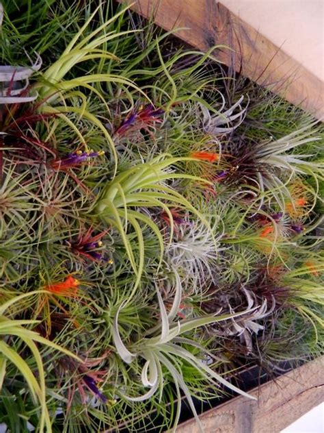 air garden plants air plants wall garden craft ideas pinterest