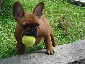 French Bulldog Puppies Wallpapers & Pics - Pets Cute and ...