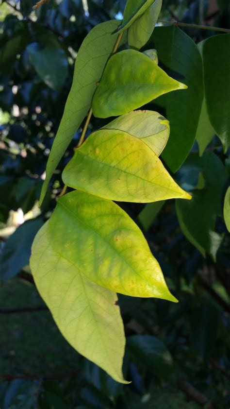 Carambola Leaves Are Yellowing