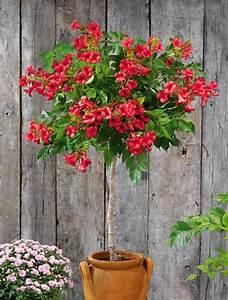 Arbuste Fleuri En Pot : bignone rouge sur tige mini plantes pour petit jardin ~ Premium-room.com Idées de Décoration