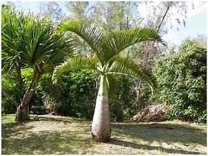 Palmier De Jardin : ile maurice jardin de pamplemousse ~ Nature-et-papiers.com Idées de Décoration