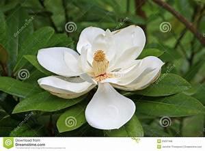 Fleur De Magnolia : fleur de magnolia photo stock image du nature p tale ~ Melissatoandfro.com Idées de Décoration