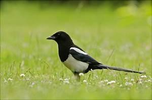 Elster Vogel Vertreiben : elster pica pica forum f r naturfotografen ~ Lizthompson.info Haus und Dekorationen