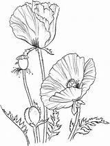Poppy Coloring Flower Pages Poppies Flowers Printable Drawing Colouring Supercoloring Recommended Remembrance Oriental Getdrawings Larkspur Mycoloring sketch template