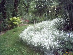 Couvre Sol Vivace : photo ceraiste en fleur couvre sol vivace persistant ~ Premium-room.com Idées de Décoration