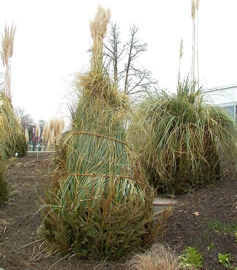 pampasgras pflege ueberwinterung rueckschnitt