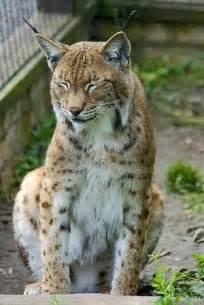 Big Cats Lynx