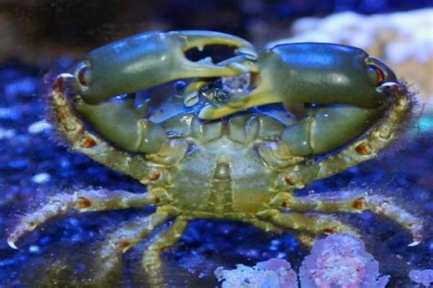 emerald crab facts habitat diet life cycle baby pictures