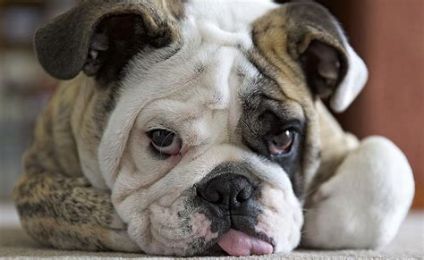 english bulldogs gene pool    small  heal