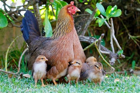 Picture Of Hen With Chicks Under Her Wings