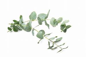 Eucalyptus: The Essential Oil of Spring Cleaning
