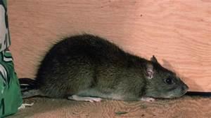 Ratte Im Haus : nager ratten im haus vermeiden wohnen ~ Buech-reservation.com Haus und Dekorationen