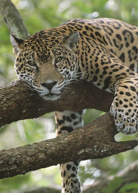adopt  jaguar wildlife adoption  gift center