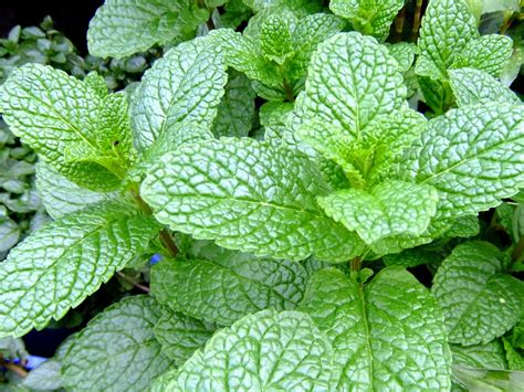 mint plant how to grow mint plants the garden of eaden