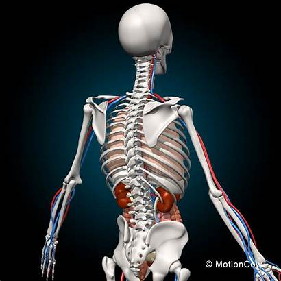 Anatomy Skeleton Motioncow