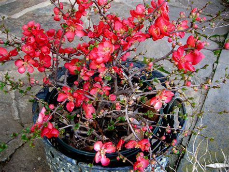 flowering quince jet trail flowering quince carolyn s shade gardens