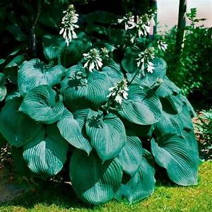 Funkie Big Daddy : riesen funkie big daddy von g rtner p tschke hostas ~ Michelbontemps.com Haus und Dekorationen