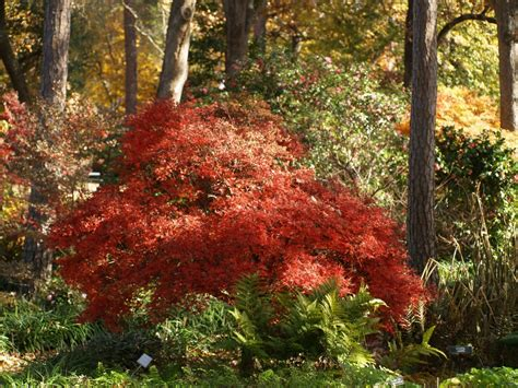 japanese maples japanese maples for year round interest east texas gardening