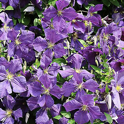 clematis im topf waldrebe the president lila farbene sommerbl 252 clematis kletterpflanze im topf eur 4 00