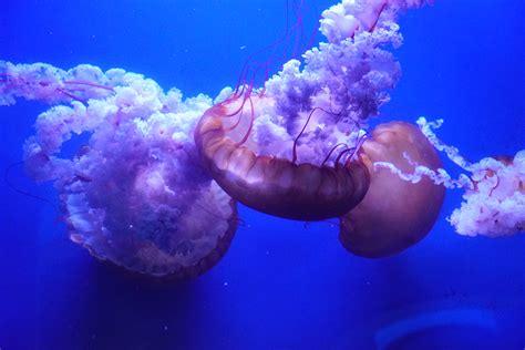 Nacen más de diez mil medusas en menos de un año en el ...