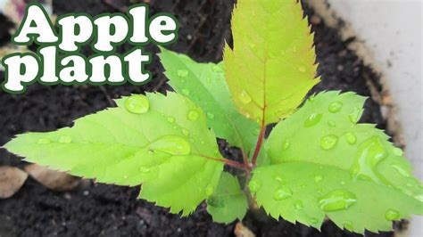 grow  apple tree  seeds planting dwarf