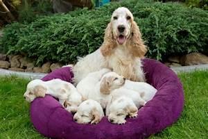 Familia De Cocker Spaniel Ingl U00e9s Cachorro Peque U00f1o  U2014 Fotos