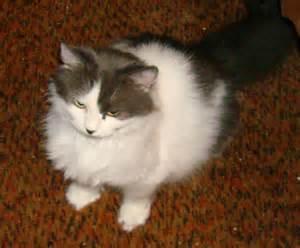 petsmart cats cat adoptions at petsmart in manchester hartford cats