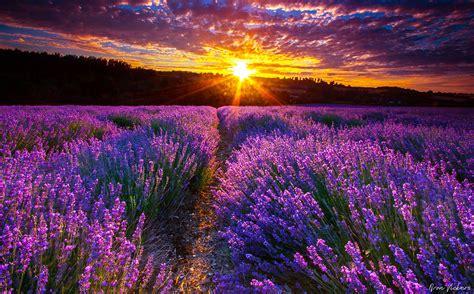babies  mths  drop  lavender  roman chamomile