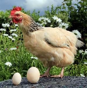 """母雞產下""""特大號""""雞蛋 為普通蛋4倍大(組圖) - 新聞 - 國際線上"""