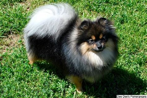 pomeranian puppies  sale  reputable dog breeders
