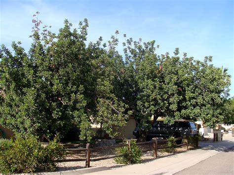 landscape  dense shade tree  xeric landscape design