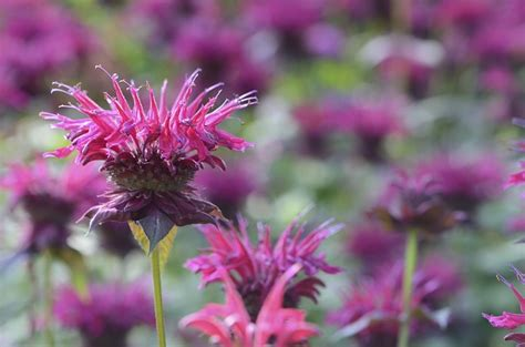do deer eat bee balm deer hate these 7 plants so plant them around your garden total survival