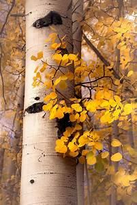 Fall, Aspen, Trees, Fall, Tree, Decor, Colorado, Art, Aspens, Golden, Aspen, Trees, Cabin, Decor, Yellow