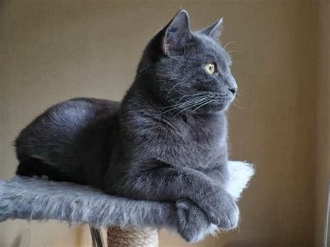 12 Best French Chartreux Cats And Kittens Images On