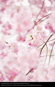 Rosa Blühender Baum Im Frühling : photocase natur baum fruehling bluete rosa bluehend ~ Lizthompson.info Haus und Dekorationen