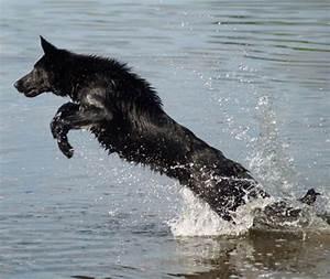 german shepherd dog purzuit